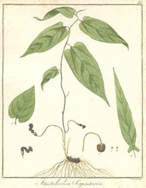 Aristolochia Serpentaria.