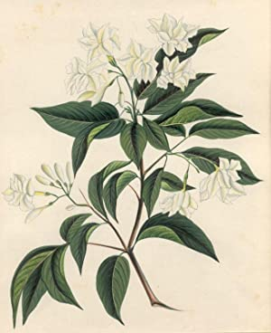 Jasminum (Jasmin): Ölbaumgewächse (Oleacae)