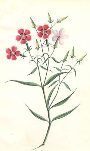 Dianthus chinesis (Chinesische Nelke, Chinesernelke): Nelkengewächse (Caryophyllaceae)
