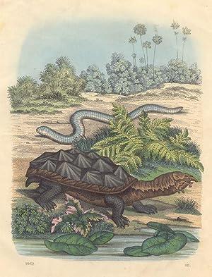 Matamata, weiße Doppelschleiche].: Reptilien