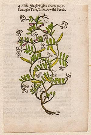 Vicia sylvestris, five Cracca major. Nr. 4