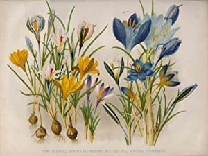 New Crocuses-spring flowering: autumn and winter flowering.