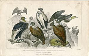 Pájaros. King of the vultures, sociable vulture 1850 .