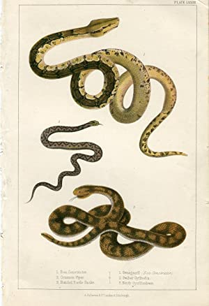 Animales. Boa Constrictor, Common Viper, Banded Raule Snake. 1860