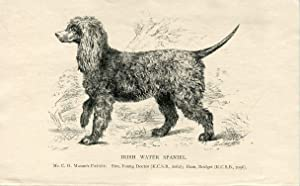 Perros. Irish Water Spaniel. Grabado. 1890