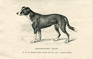 Perros. Smooth-Coated Colley. Grabado 1890