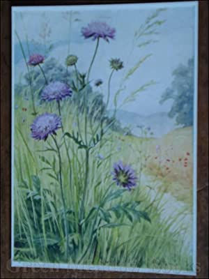 WILD FLOWER SERIES: FIELD SCABIOUS