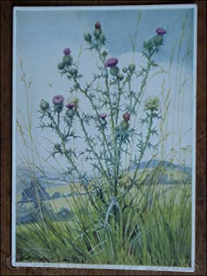 WILD FLOWER SERIES: SCOTCH THISTLE