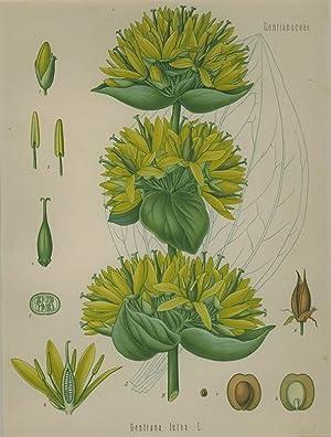 Gentiana lutea L. (Gentianaceae). Gelber oder edler, gebräuchlicher, gemeiner, grosser Enzian,...