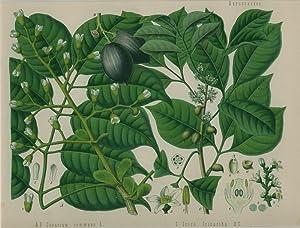 Canarium coummune L. und Icica Icicariba D. C. (Burseraceae). Elemibaum.