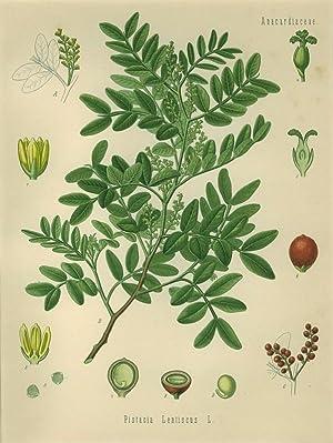 Pistacia Lentiscus L. (Anacardiaceae). Mastixbaum.