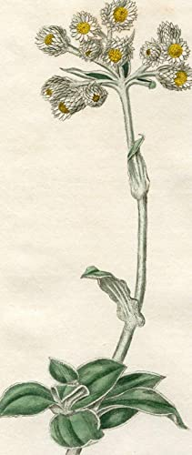 Gnaphalium Fruticans - Shrubby Everlasting. Altkolorierter Kupferstich: Curtis, William.