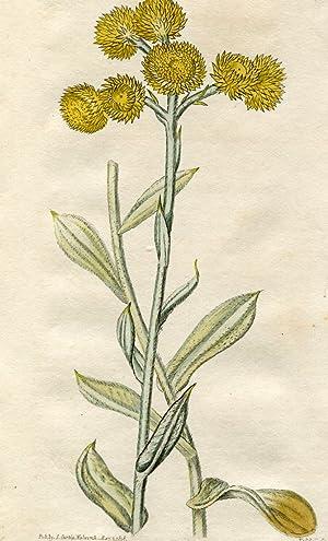 Gnaphalium Apiculatum - New-Holland Everlasting. Altkolorierter Kupferstich: Curtis, William.