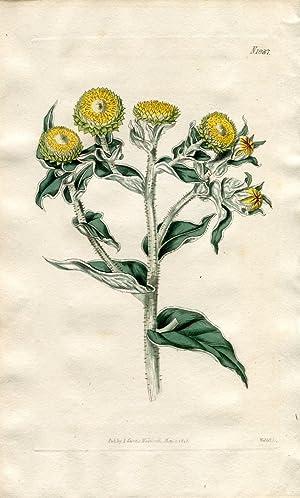 Gnaphalium Foetidum - Strong-Scented Everlasting. Altkolorierter Kupferstich: Curtis, William.