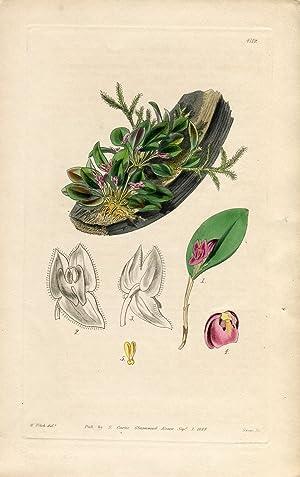Lepanthes Sanguinea - Blood-Coloured Lepanthes. Altkolorierter Kupferstich: Curtis, William.