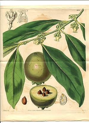 Diospyros Sapota - Sapota Date-Plum. Altkolorierter Kupferstich: Curtis, William.