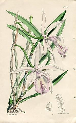 Cattleya Lindleyana - Dr. Lindley's Cattleya. Altkolorierte: Curtis, William.