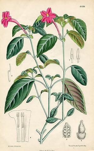 Ruellia portellae. Altkolorierte Original-Lithographie (Aus: Curtis' Botanical: Curtis, William.