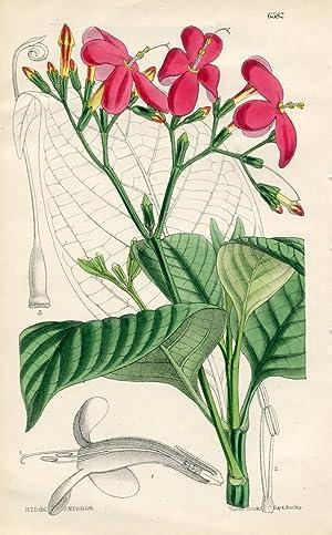 Ruellia acutangula. Altkolorierte Original-Lithographie (Aus: Curtis' Botanical: Curtis, William.