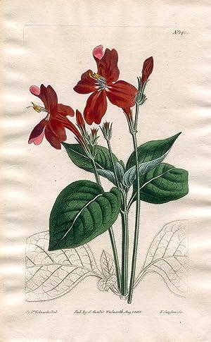 Ruellia Formosa - Splendid Ruellia. Altkolorierter Kupferstich: Curtis, William.