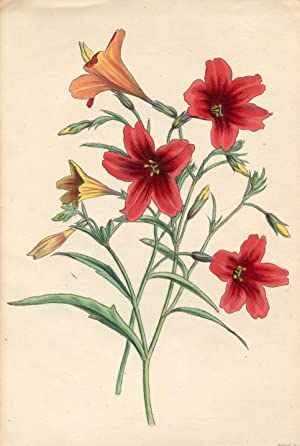 The Scarlet Salpiglot (Salpiglossis Coccinea). Altkolorierte Lithographie / Colored Lithography (...