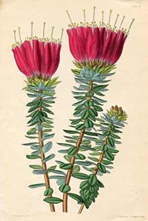 The Close-Headed Bejaria (Bejaria Coarctata). Altkolorierte Zinkographie / Colored Zincography (A...