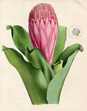The Thyrse-Like Billbergia (Billbergia Thyrsoidea). Altkolorierte Zinkographie / Colored Zincogra...