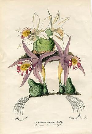 Pleione maculata - Pléione à fleurs tachetées: Lemaire, Charles.