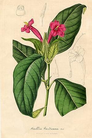Ruellia Purdieana Hook. Kolorierte Lithographie (aus: Flore: van Houtte, Louis.