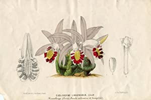 Coelogyne Lagenaria Lindl. Kolorierte Lithographie (aus: L'illustration: Verschaffelt, Ambroise.
