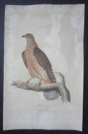 "Falco dubios seu incertus Lath. Omtvistad Falk [published for ""Svensk Ornithologie""]: ..."