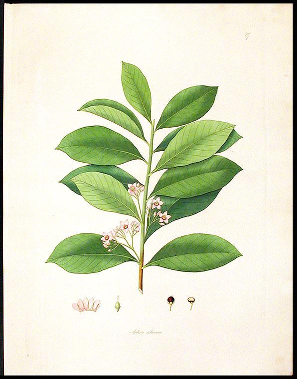 Ardisia solanacea [Shoebutton Ardisia or Marlberry]: ROXBURGH, William (1751-1815)