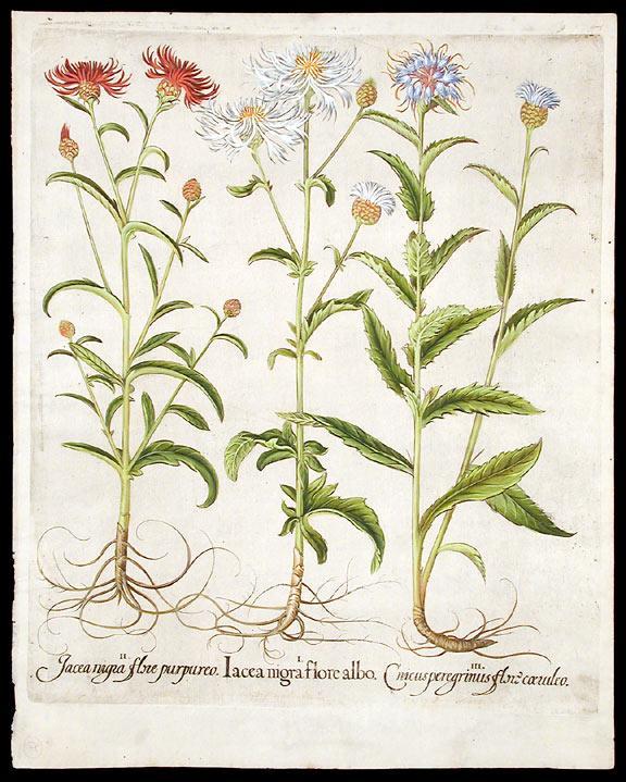 Iacea nigra flore albo; Iacea nigra flore purpureo; Cnicus peregrinus flore coeruleo [Wild ...