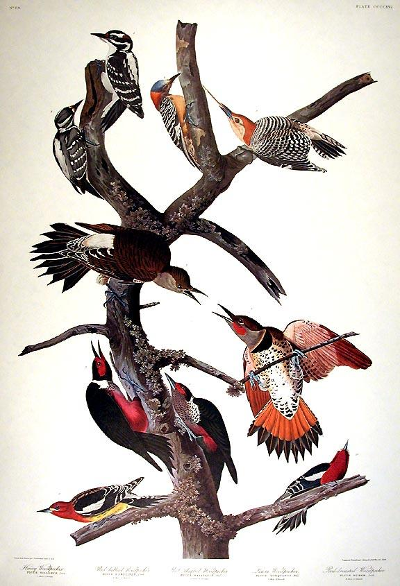 Hairy Woodpecker, Red-bellied Woodpecker, Red-shafted Woodpecker, Lewis Woodpecker, Red-breasted Woodpecker. From