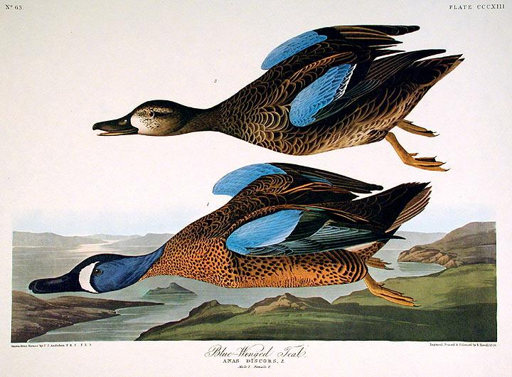 """Blue-Winged Teal. From """"The Birds of America"""" (Amsterdam Edition): AUDUBON, John James (..."""
