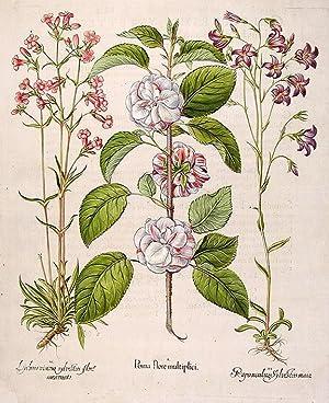 Double-flowered apple] Poma flore multiplici; [German catchfly] Lychris viscosa sylvestris flore ...