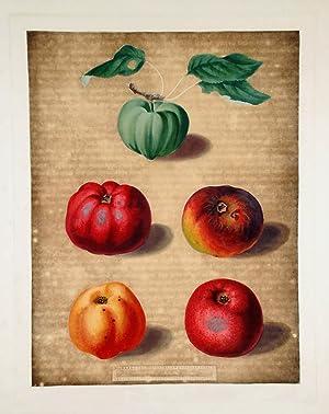 Apples] Calville White Apple; Red Calville; Norfolk Beefing; Norfolk Paradise: BROOKSHAW, After ...
