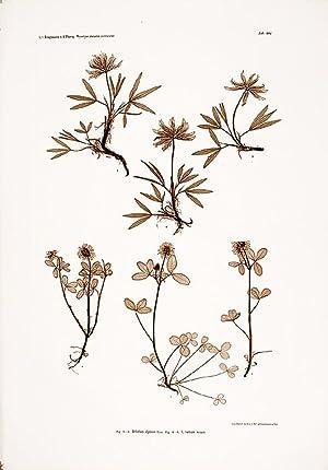 Trifolium alpinum; T. badium: ETTINGSHAUSEN, Constantin Freiherr Von (1826-1897), and POKORNY, ...