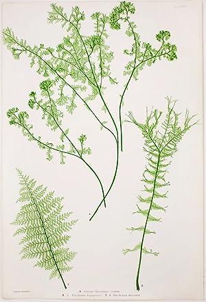 Athyrium Filix-foemina crispum [Lady Fern]; A. Filix-foemina depauperatum [Lady Fern]; A. ...
