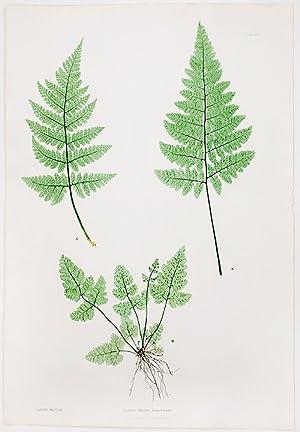Lastrea dilatata dumetorum [Broad Prickly-toothed Buckler Fern]: MOORE, Thomas (1821-1887)