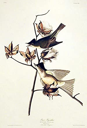"Pewit Flycatcher. From ""The Birds of America"" (Amsterdam Edition): AUDUBON, John James (..."