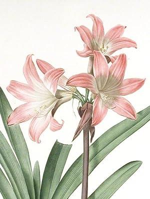 Amaryllis Belladonna / Amaryllis Belladonne [Belladonna Lily, March Lily]: REDOUTÉ, Pierre-Joseph (...