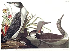 "Red-throated Diver. From ""The Birds of America"" (Amsterdam Edition): AUDUBON, John James ..."