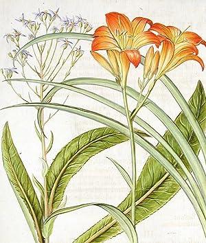 Lilium fatuum [Tawny day lily]; Dorea Narbonensium [Groundsel]: BESLER, Basil (1561-1629)