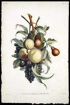 Branches de Rousselet, Peche, Prune, et Raisin: PREVOST, Jean Louis