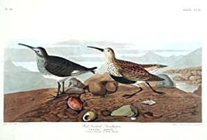 """Red-backed Sandpiper. From """"The Birds of America"""" (Amsterdam Edition): AUDUBON, John ..."""