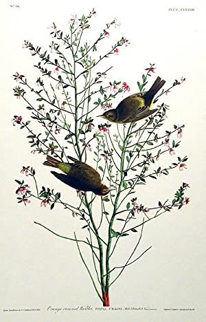 "Orange-crowned Warbler. From ""The Birds of America"" (Amsterdam Edition): AUDUBON, John ..."