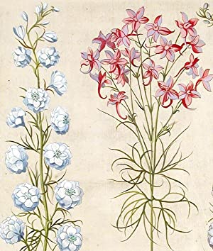 Wild variegated larkspur] Consolida regalis Aruensis flore variegato; [Double-flowered white ...