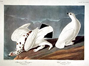 """American Ptarmigan, White-tailed Grous. From """"The Birds of America"""" (Amsterdam Edition): ..."""