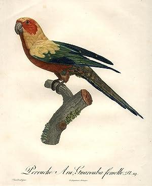 Perruche Ara Guarouba femelle [Sun Conure (Aratinga euops)]: BARRABAND, Jacques (1767/8-1809)